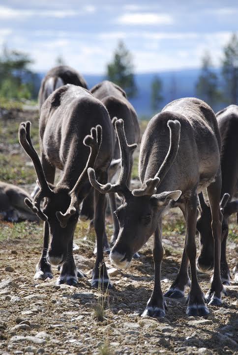 Reindeer Finland