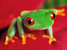 Red-eyed%20Tree%20Frog